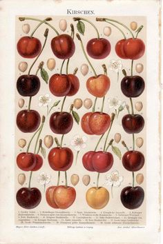 1894 cherry original antique botanical fruit print cherries. $65.00, via Etsy.