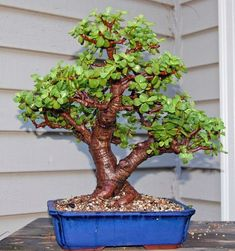If you're in making your very first bonsai, try boxwood. With this quick introduction, you ought to be in a position to choose a tree that fulfills your wishes, either an indoor Bonsai or an outdoor. Bonsai tree plants can… Continue Reading → Jade Plants, Plants, Garden Web, Succulent Bonsai, Tree Care, Jade Plant Bonsai, Jade Tree, Trees To Plant, Miniature Trees