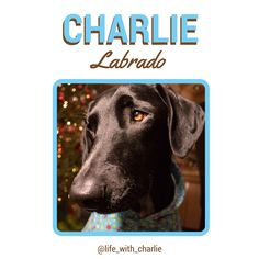 Charlie the Labrador mix, waiting to hear those sleigh bells ring. He was sure he could hear them last night… must have been the cat! #instagram #dogs #Charlie