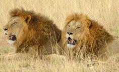 Lions @ Lahore Wildlife Park
