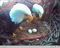 Mom and Dad Hornby are still being broadcast to the world through a new webcam. Most Beautiful Birds, Pretty Birds, All Birds, Birds Of Prey, Angry Birds, Raptor Bird Of Prey, Animals And Pets, Cute Animals, Eagle Pictures