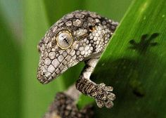Gecko - Eurydactylodes vieillardii - is a small genus of geckos, found on the main island of New Caledonia. - Wikipedia