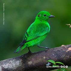 Glistening-Green Tanager / Chlorochrysa Phoenicotis found between 1500 and 2300 meters in Quito. #EcuadorBirding Bird Republic of Ecuador #LatitudCero #birdsofinstagram #birds #birdwatching #birdwatcher