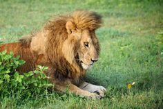 Blog Medioambiente.org ALLPE Medio Ambiente: El león al que hipnotizó una mariposa