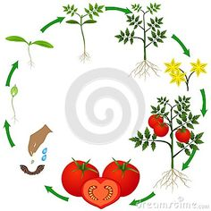 Life cycle of a tomato plant on a white background, beautiful illustration.