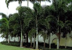 Full Size Picture Of Mexican Blue Palm Blue Hesper Palm