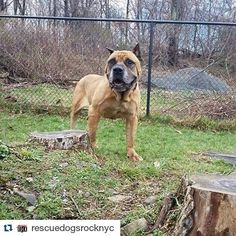 #Repost @rescuedogsrocknyc  Danner is 7 years old and a Boerbel Mastiff mix and 112lbs He's fantastic with other dogs and great with kids of any age... All he wants to do is be a good boy and make you happy by being obedient gentle loving and sweet... Everyone he meets say he's perfection!!! Apply for Danner at rescuedogsrocknyc.org #rescuedogsrocknyc #nyc #adoptdontshop #cute #lacyandpaws #dog #newyorkcity #puppy #newyork #manhattan #spreadtherumer #puppies #ny #barkbox #adopt  #rescue…