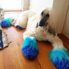 Two-tone poms by with OPAWZ Permanent Dyes. 🌊 Specially formulated dyes apply easily onto dog hair and sets in just 20 minutes - a great timesaver! 😎 Lasts washes. Dog Hair Dye, Dog Dye, Dyed Hair, Dog Grooming Styles, Pet Grooming, Extreme Pets, Goldendoodle Grooming, Creative Grooming, Cute Puppies
