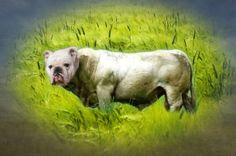 Bulldog Creatures   BaggyBulldogs