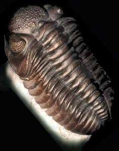Trilobita. Artrópode marinho que viveu na Era Paleozóica, extinto ao final do Permiano. O exemplar é uma réplica em resina. Geologia na Escola - Mostruário - Serviço Geológico do Paraná - Mineropar