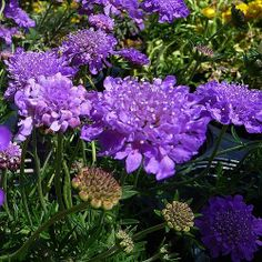 """Pincushion flower - clumps of deeply cut leaves grayish green with upright stems topped with round blooms. 12-18"""" high. Full sun. Flower early summer and continue into early fall if deadheaded. Can tolerate drought."""