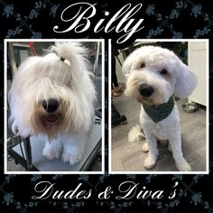 Billy, the handsome old english sheepdog ♥️ Grooming Salon, Old English Sheepdog, Diva, Bunny, Handsome, Cats, Animals, Gatos, Kitty Cats