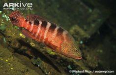 Cephalopholis sexmaculata - Saddled grouper