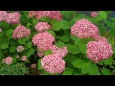 Hydrangea Annabelle with pink flowers