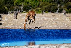 African Giraffe, African Safari, Vacations, Camel, Opportunity, Exotic, Change, Canning, Animals
