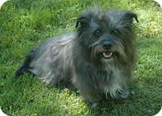 Pictures of Shady a Skye Terrier for adoption in Santa Clarita, CA who needs a loving home.