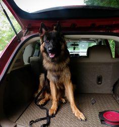 12 Months Old  Long hair German Shepherd . Odin - Panjo V. Ljulin. My service dog https://www.facebook.com/ZufluchtK9s/  #WonderlustPup