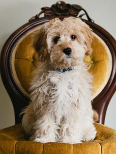 Cavapoo The Cavapoo, also known as the Cavadoodle, is created by the crossing of two breeds: Cavalier King Charles Spaniel and Poodle.