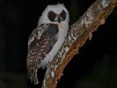 Madagascar Long-eared Owl (Asio madagascariensis) juvenile. Photo by Alan Van Norman.