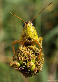 The grasshopper is an insect of the suborder Caelifera in the order Orthoptera. To distinguish it from bush crickets or katydids, it is sometimes referred to as the short-horned grasshopper. Species that change colour and behaviour at high population densities are called locusts.