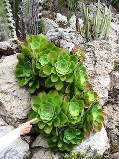 Aeonium canariense - Wikiwand