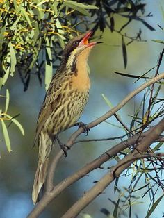 The Spiny-cheeked Honeyeater (Acanthagenys rufogularis) is the only species in the genus Acanthegenys. Its range includes most of Australia except for Tasmania, tropical Northern areas, the Southeastern coast.[
