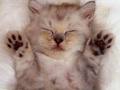 """Wszystko o kotach: Czemu koty """"ugniatają"""" nas łapkami ??"""