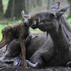 Maine Moose and calf