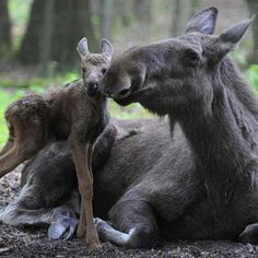 Maine Moose and calf