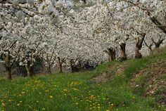 Luoghi: esperienze di giardino e di paesaggio: Allium aflatunense