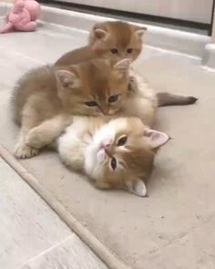 Cute Little Kittens, Cute Baby Cats, Kittens Cutest, Cute Dogs, Ragdoll Kittens, Tabby Cats, Bengal Cats, Funny Cute Cats, Cute Funny Animals