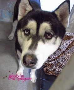 Handsome husky dumped back at shelter within days of being adopted