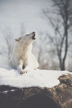 howling arctic wolf | animal + wildlife photography #wolves