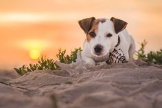 Jack Russell on the beach