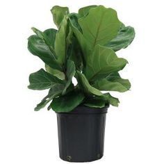 Create a bold, dramatic look in your home with fiddle leaf Ficus (also called fiddle leaf fig, or Ficus lyrate, if you prefer botanical names). 1 of the trendiest houseplants available, it's loved for Easy House Plants, Garden Plants, Pot Plants, Plants Indoor, Orchids Garden, Plant Pots, Shade Garden, Vegetable Garden, Fig Leaves