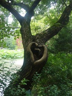 heart shapes in nature | heart-shaped tree in Taipei's botanical gardens