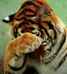 Tiger covers his eyes