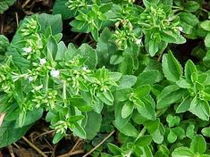 100Pcs 5 types Basil Herb Graines Sweet RARE viable basilicum graines Medical Herbs