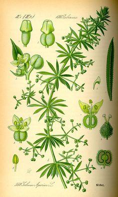Cleavers, in Flora von Deutschland, Österreich und der Schweiz (1885) by Thomé. © Kurt Stueber, 2007. GNU Free Document License. [cleavers, Galium aparine, Rubiaceae]