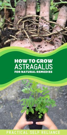 Astragalus is an easy-to-grow perennial that's beautiful in the garden. As a medicinal herb, it has many benefits for natural remedies. It's a natural adaptogen and immune stimulant. Beyond their medicinal value, astragalus plants are also grown as a vegetable, and their tasty roots are added to all manner of savory dishes. Growing Vegetables At Home, Growing Herbs, Healing Herbs, Medicinal Herbs, Gardening For Beginners, Gardening Tips, Apothecaries, Garden Nursery, Grow Your Own Food