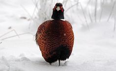 UK weather: A pheasant stands in snow near Dulverton on Exmoor