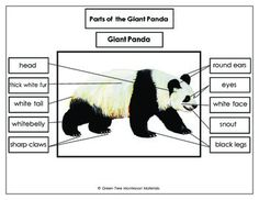 Giant Panda Printables: Label the parts of a Giant Panda 12 Parts • Printout with dashed boxes for cutting and gluing • Sheet with the words at the bottom for writing • A control chart for independent work • Also includes a fact sheet, and a Giant panda tracing card.