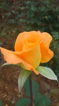 Gorgeous peach rose ✨ ʈɦҽ ƥᎧɲɖ ❤ﻸ•·˙❤•·˙ﻸ❤   ᘡℓvᘠ □☆□ ❉ღ // ✧彡☀️ ●⊱❊⊰✦❁❀ ‿ ❀ ·✳︎· ☘‿ FR AUG 04 2017‿☘✨ ✤ ॐ ♕ ♚ εїз⚜✧❦♥⭐♢❃ ♦♡ ❊☘нανє α ηι¢є ∂αу ☘❊ ღ 彡✦ ❁ ༺✿༻✨ ♥ ♫ ~*~ ♆❤ ☾♪♕✫ ❁ ✦●↠ ஜℓvஜ .❤ﻸ•·˙❤•·˙ﻸ❤↠ ஜℓvஜ .❤ﻸ•·˙❤•·˙ﻸ❤