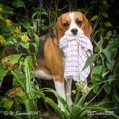 Cute beagle stealing the tea towel again