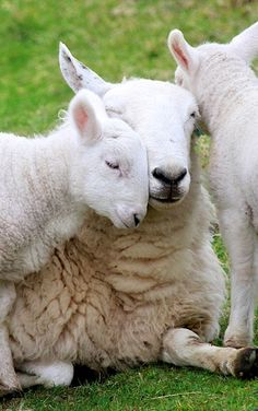 Scottish Momma lamb gets smothered in affection by her little ones.
