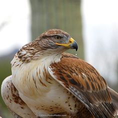 Close-up of a Ferruginous Hawk  (Buteo regalis) - photographed in Arizona by B N Sullivan