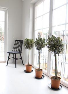 potted indoor olive tree in white bedroom via Gardenista ...
