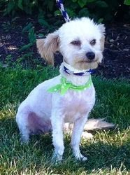 Adopt Quincy On Poodle Mix Dogs Maltese Poodle Mix Maltese Dogs