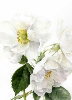 Rosa alba by Elaine Searle, 2012