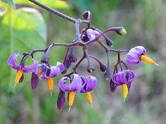 Growing Hermione's Garden: Solanum dulcamara - Bittersweet Nightshade